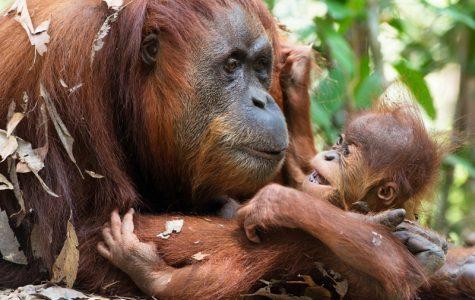 07-sumatran-orangutan-with-her-baby
