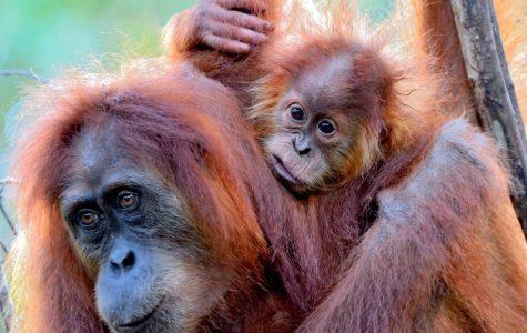 05-sumatran-orangutan-with-her-baby