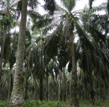 sumatra-piantagioni-palma